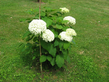 Hortensia annabelle domaine du megnon - Planter hortensia plein soleil ...